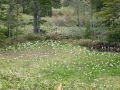 湿原入口のミズバショウ