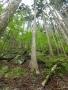 尾根の大木-1