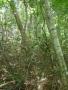 尾根の大木-2