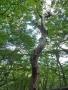 尾根の大木-3