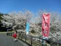 芸術の森公園の桜-1