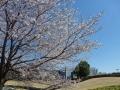 芸術の森公園の桜-2