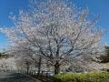 芸術の森公園の桜-3