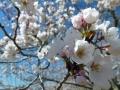 芸術の森公園の桜-4