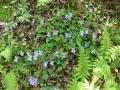 咲き乱れるスミレの花