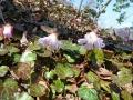 イワウチワの花
