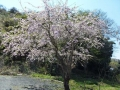 駐車場の桜の花