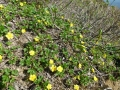 ミヤマキンバイの花
