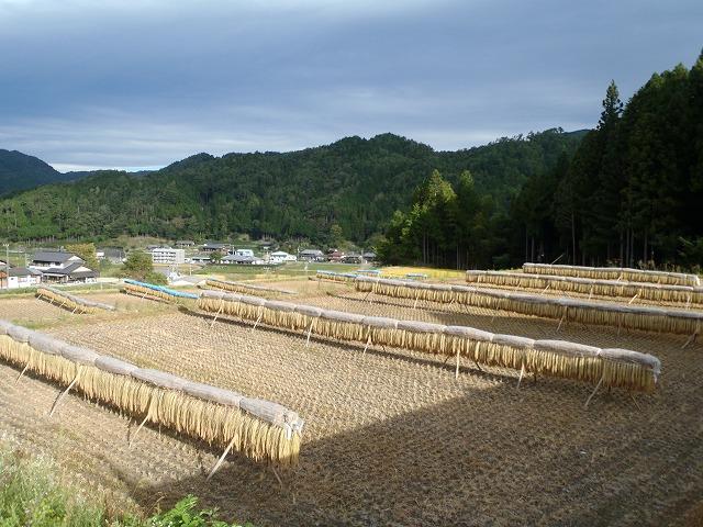 お米 収穫