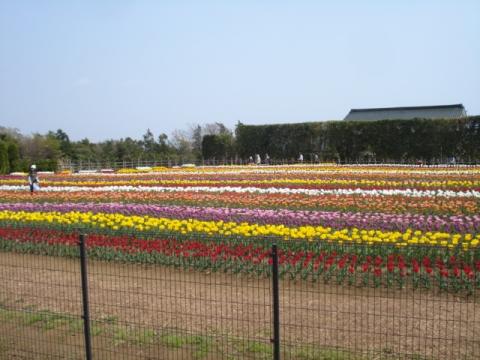 秦野戸川公園チューリップ:7