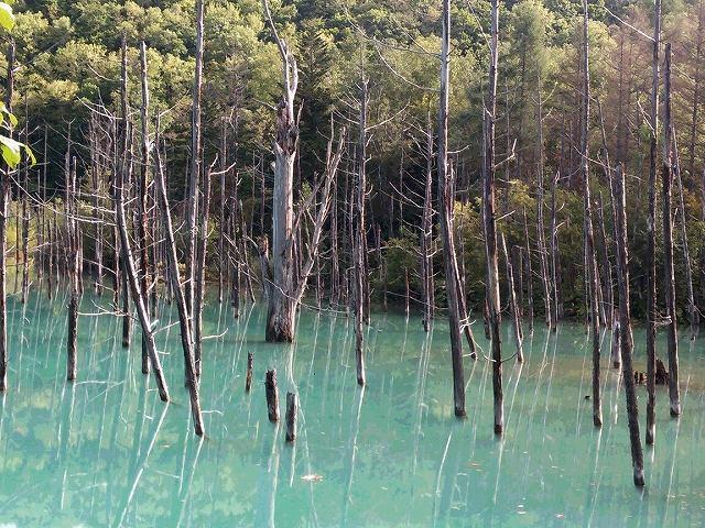 s-立ち枯れたカラマツの木々。。。