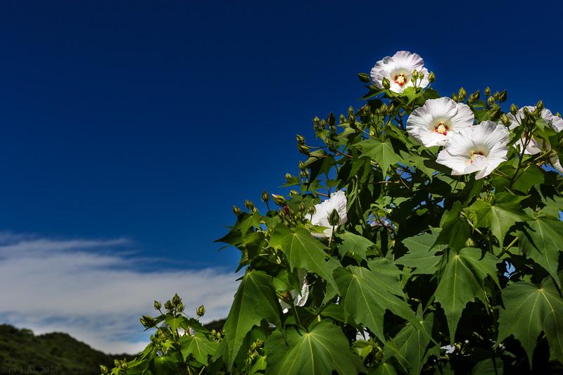 20140901_flowers_and_sky-001.jpg