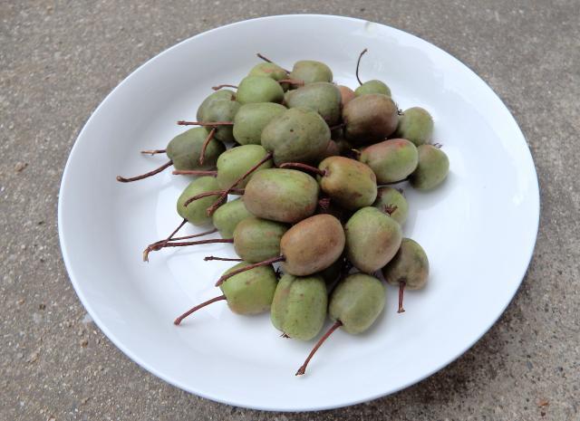 サルナシの果実の収穫