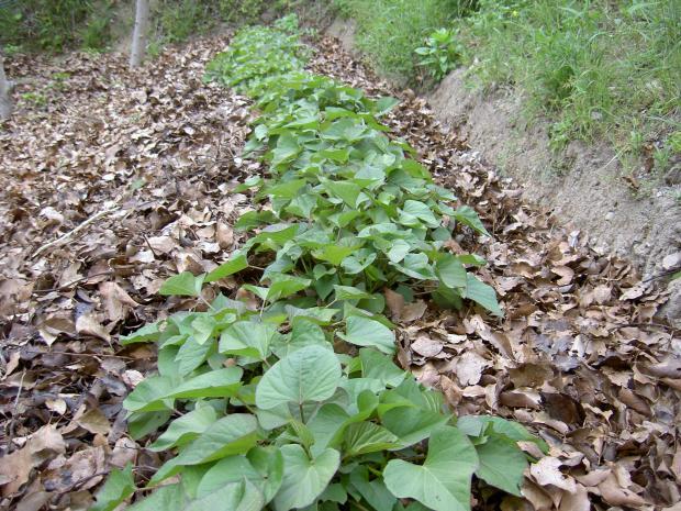 3月31日苗定植のサツマイモ、5月14日の状態