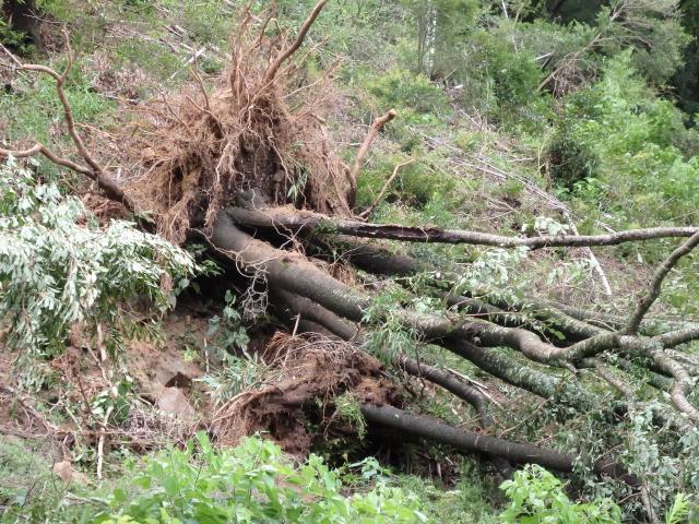 暴風で根こそぎこけたヤマサクラの樹
