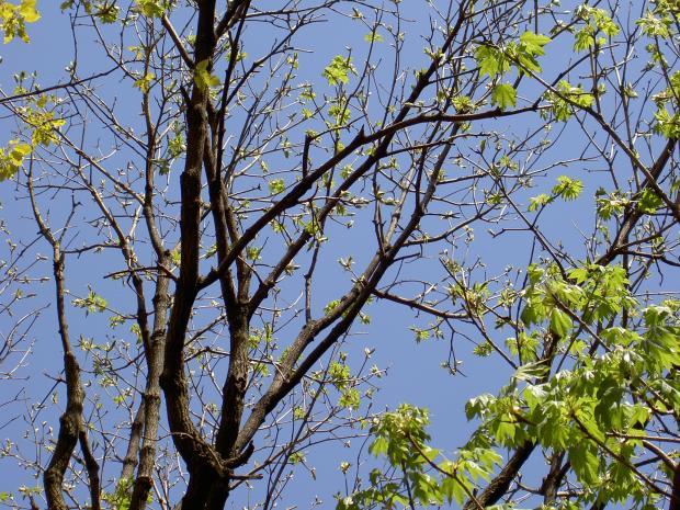 ハリギリの大木を見上げる