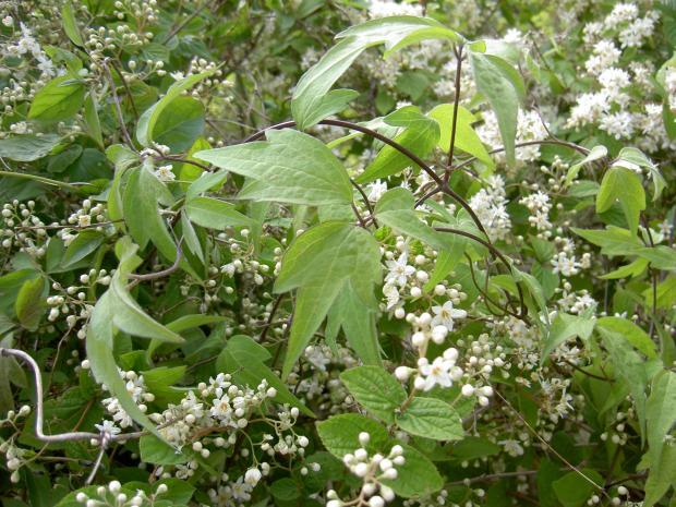 シロバナハンショウズルの葉が見えている