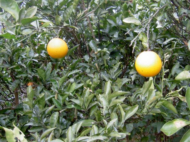 ネーブルオレンジの樹