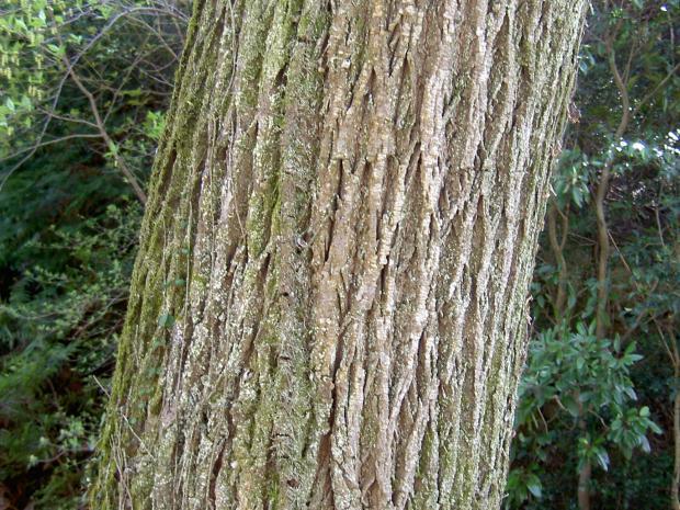 大木になるとトゲが消える