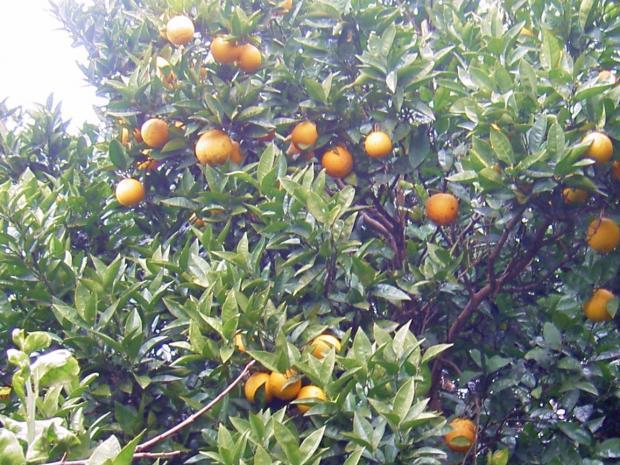 こちらはバレンシアオレンジの樹