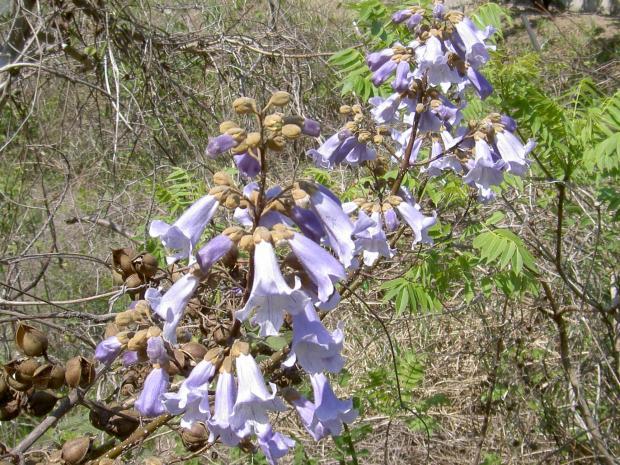 キリの花 4月25日 南あわじ市福良にて