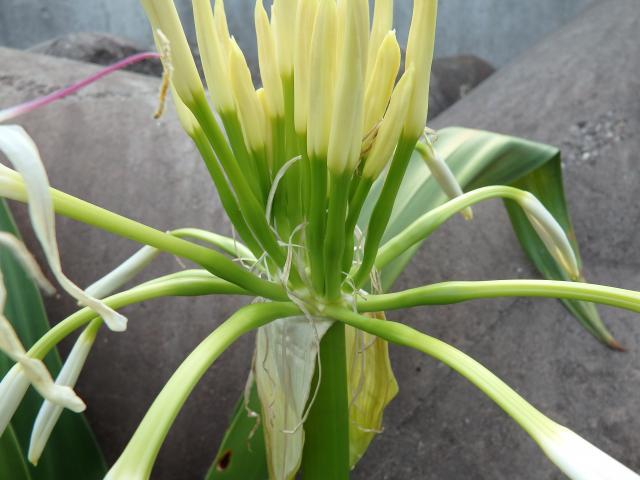 花茎の先に30個ぐらいの個花が着く