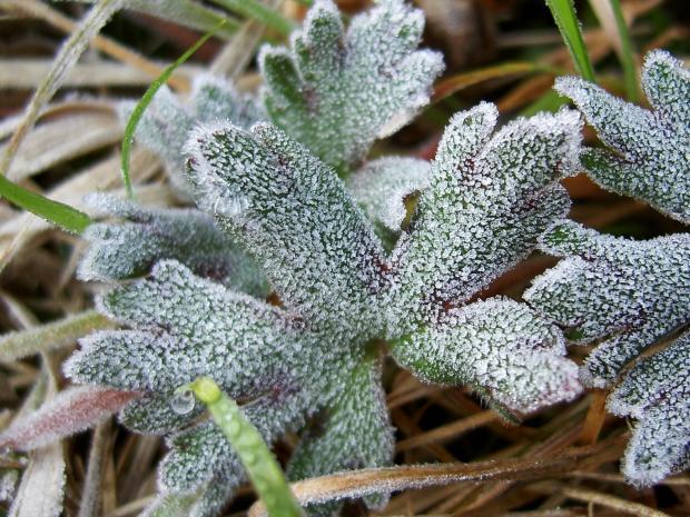 ウマノアシガタの根生葉に氷の花