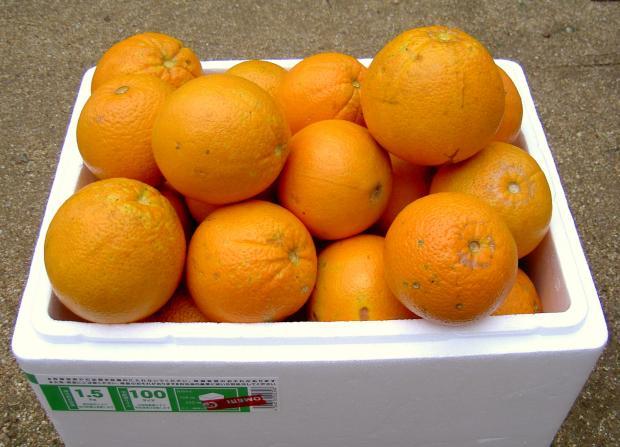 ネーブルオレンジの収獲