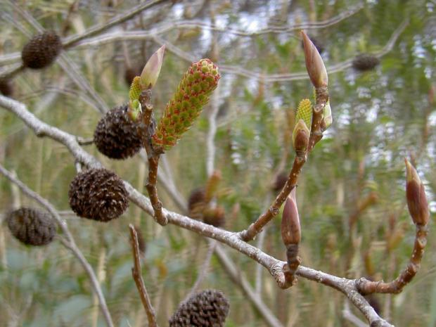 球果は短い枝の先に1個つく