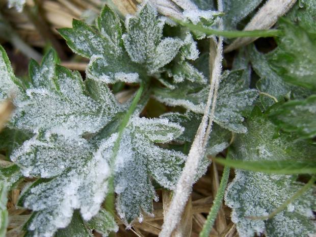 ヨモギの根生葉にも霜が降りた