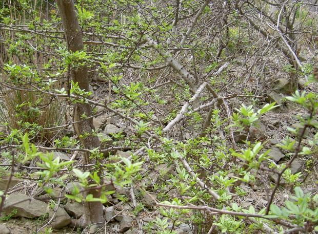 フユザンショウの木