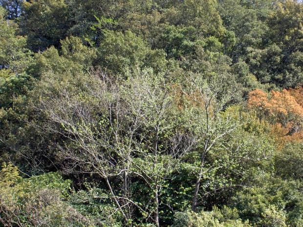 照葉樹林のなかに残存するハリギリの大木