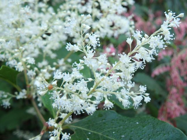 白花の普通のイタドリ