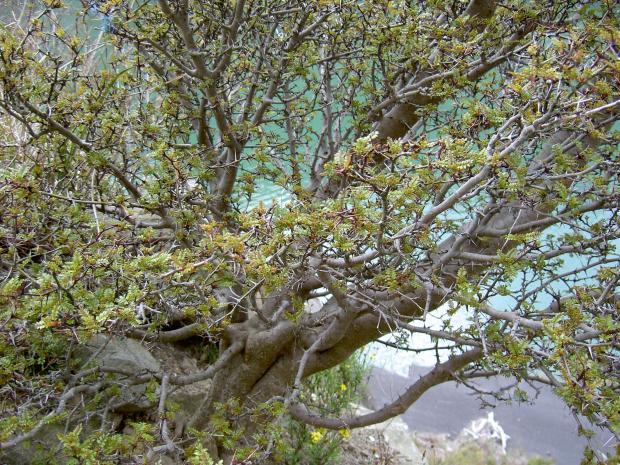 幹は太短くてサンショウの木に見えない