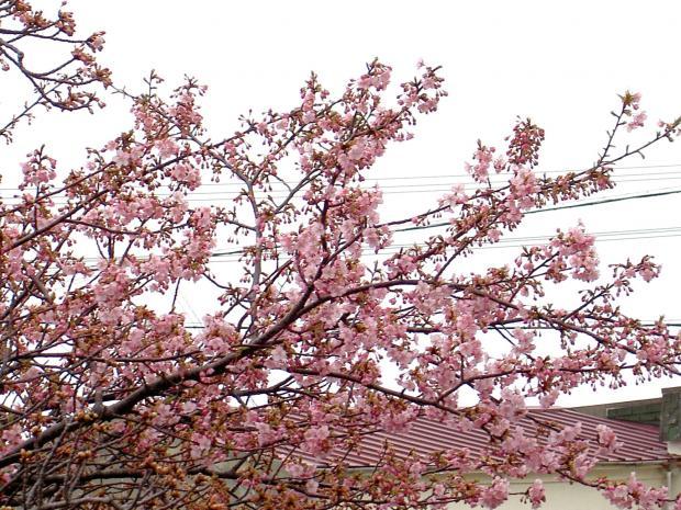 早生のサクラが3分咲き