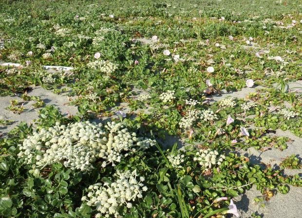 ハマボウフウのお花畑