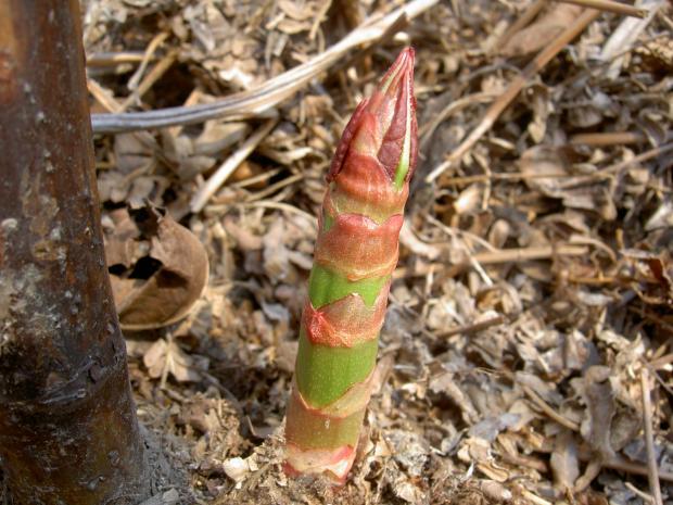 イタドリの若い芽