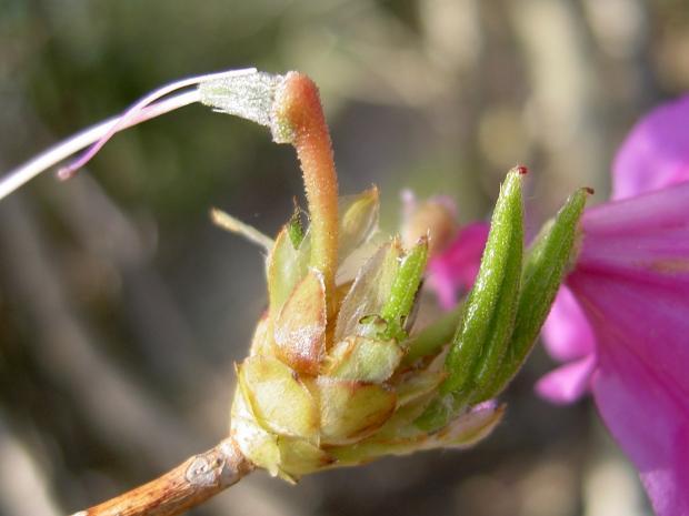 子房や花柄に腺点があって粘る