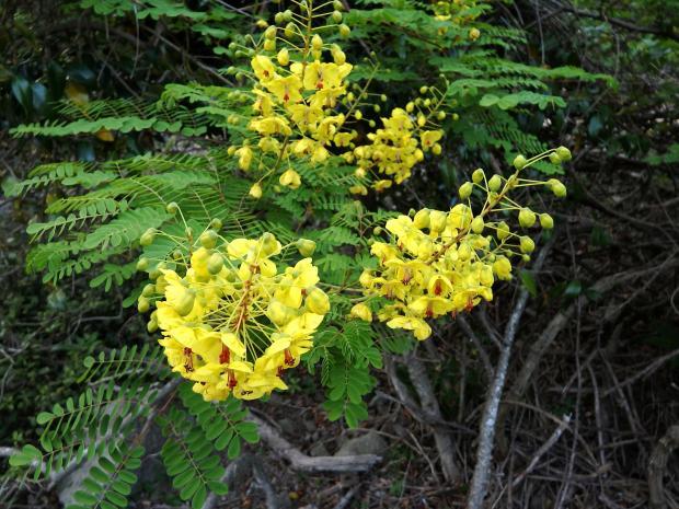 美しいレモンイエローのジャケツイバラの花