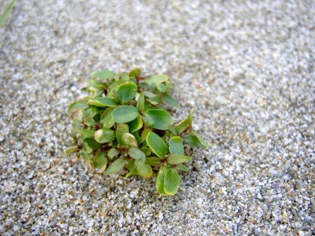ハマボウフウの芽生え