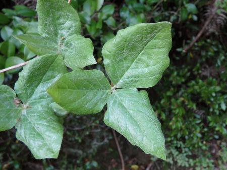 オンツツジの葉