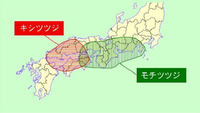 キシツツジと、モチツツジの分布域
