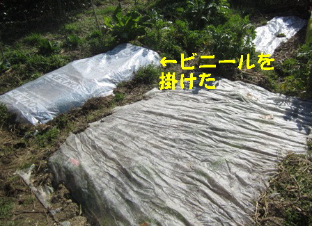 2月28日蒔き小松菜 (6)
