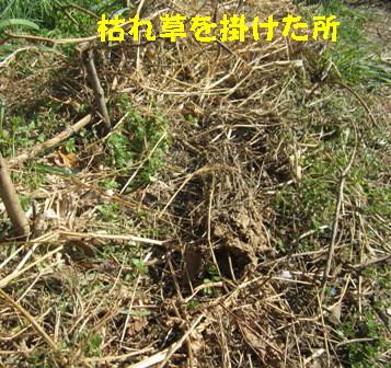 2月28日蒔き小松菜 (5)