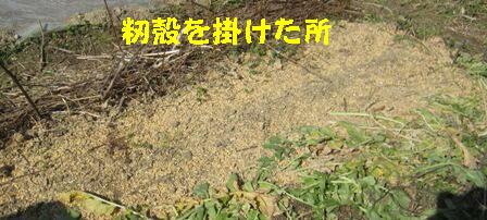 2月28日蒔き小松菜 (4)