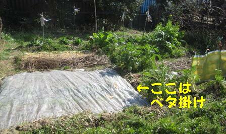 2月28日蒔き小松菜 (1)