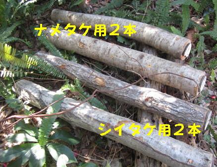シイタケ菌打ち会 (6)