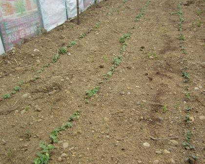 農園の小松菜3月29日 (1)