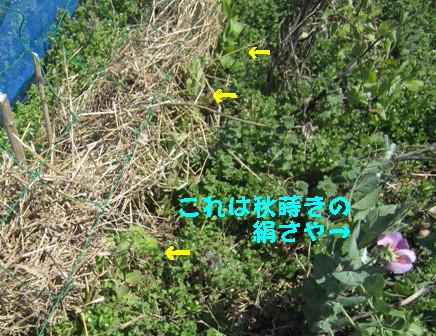 遅霜えんどう (1)