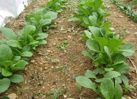 農園の小松菜 (2)